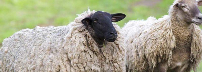Sort får