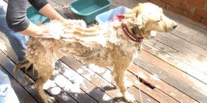 rengjøring med kjæledyr